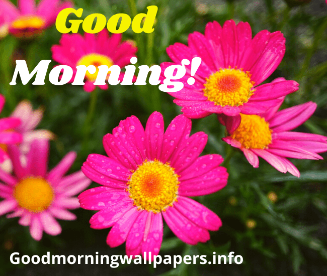 Good Morning Beautiful Pink Flower HD Wallpaper Images