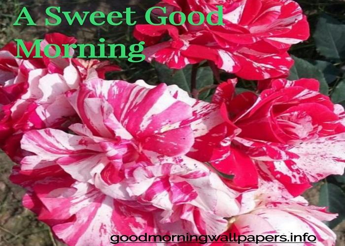 Good Morning Pink Rose
