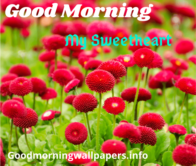 Red Flower Good Morning pics Free Download
