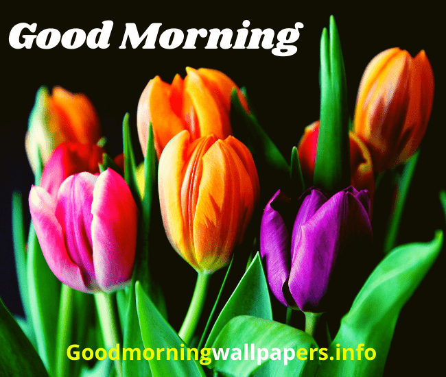 Tulip Flower Good Morning Images Pics Download