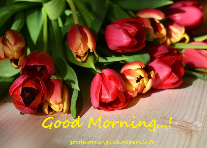 Tulip Good Morning Images