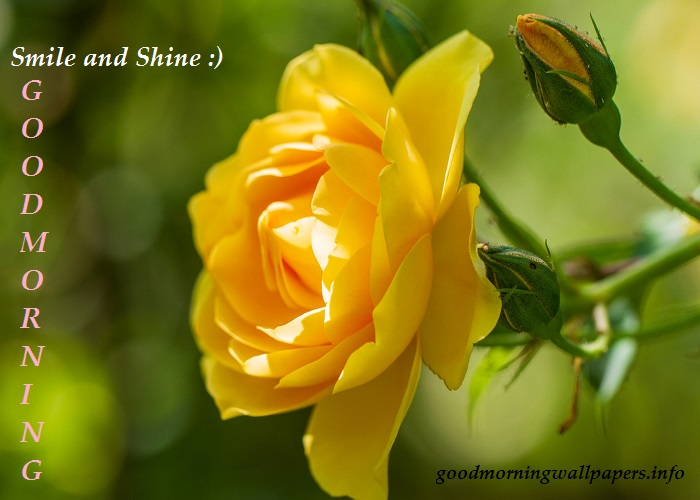 Yellow Rose Wishes