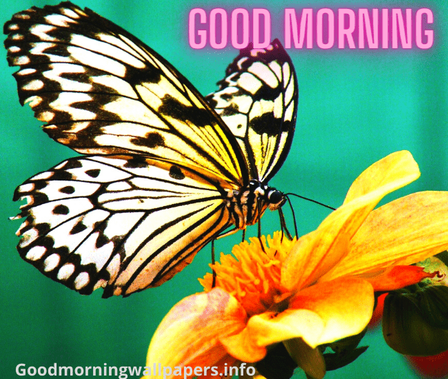 Beautiful Butterfly Good Morning Images Wallpaper Pictures HD