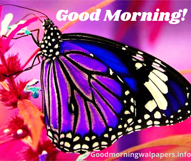 Butterfly Good Morning Photo