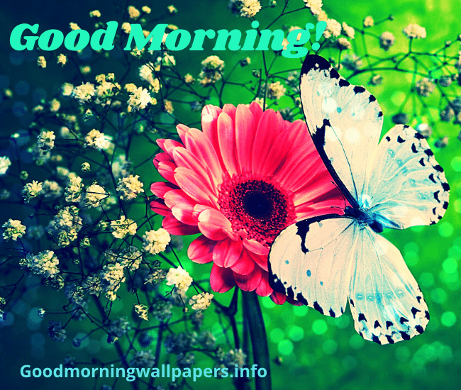 Butterfly Good Morning Wallpaper HD