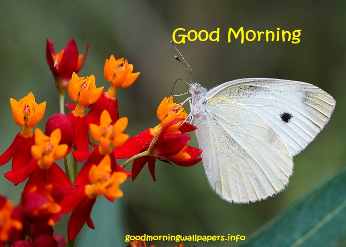 Flower Good Morning Butterfly