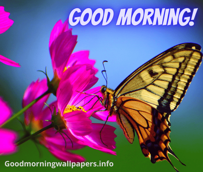 Good Morning Butterfly on Pink Flower