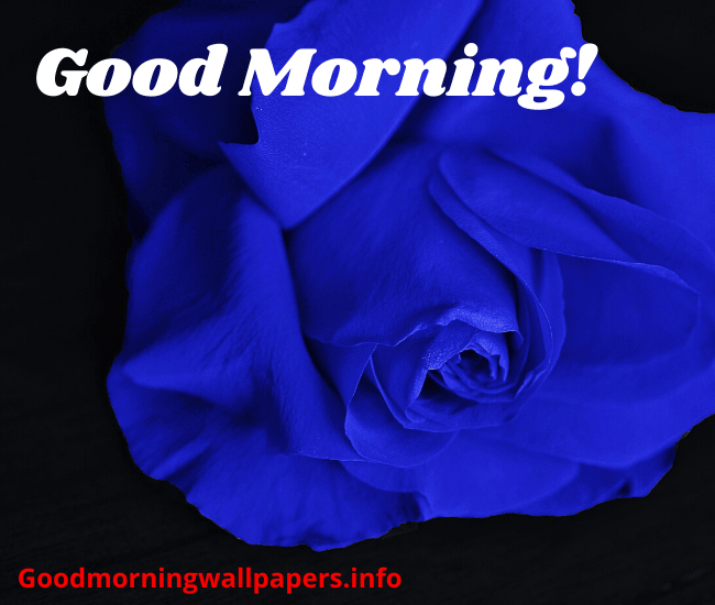 Good Morning HD Blue Rose Wallpaper