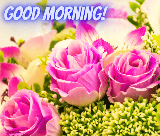 Good Morning Pink Roses HD Wallpaper Free Download