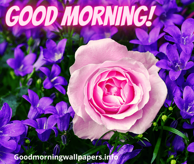 Good Morning Single Rose Picture for Whatsapp Latest Good Morning Images Photo Pics Wallpaper Pictures Pics Free Download In HD