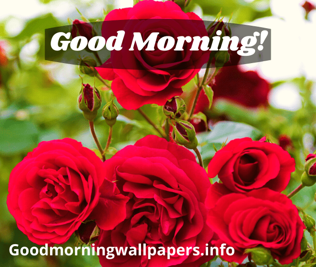 Good Morning Wallpaper with Red Roses