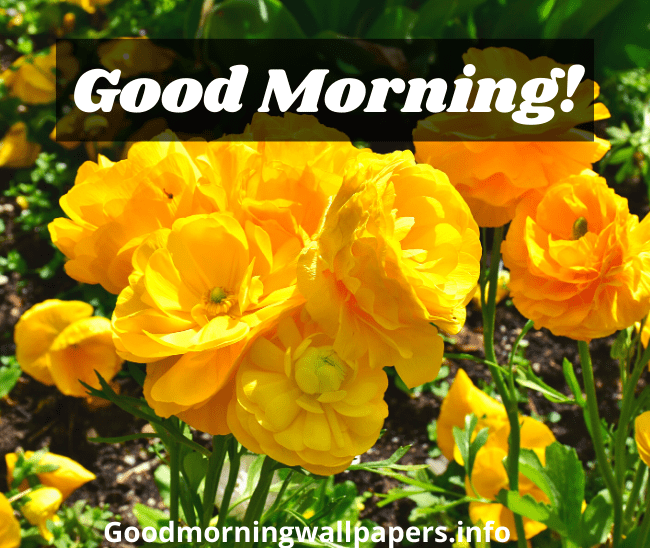 Good Morning Yellow Rose Flowers Images