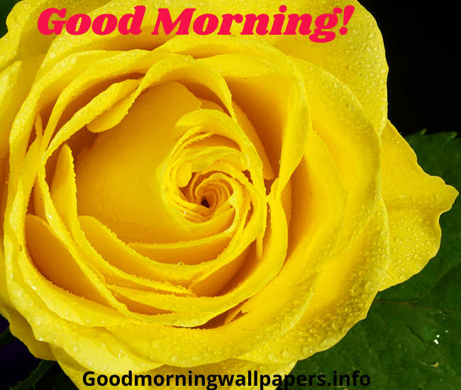 Good Morning Yellow Rose Wallpaper Image